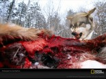 wolf-deer-sartore-513176-sw